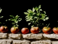 ave-bonar-photography-black-krim-heirloom-tomatoes