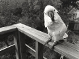 ave-bonar-photography-moluccan-cockatoo